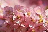 Cherry blossom close-up