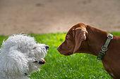 Vizsla Puppy And Bichon Frise - Playtime