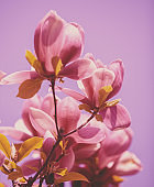 Blooming magnolia flowers. Spring. Natural vintage flowers background