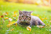 Cat lying down on the fallen leaves in autumn, enjoying fine weather