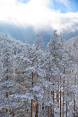 Fresh snow Wintery coniferous forest snowy pine trees. High mountain  landscape  At the top.  Alps  ski area. Ski resort Europe.