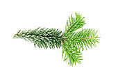 Natural green spruce twig background or texture