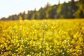 Blooming yellow rapeseed field. Plant for green energy and oil industry