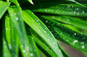 Water drops on the green leaves lily. Macro photography. - Image