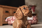 A single ruby Cavalier King Charles Spaniel puppy.