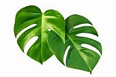 monstera jungle leaves plant isolated include clipping path on white background