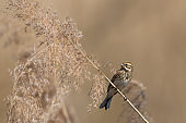 female reed bunting (emberiza schoeniclus) in reed
