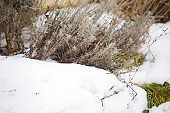 Lavender bush in snow
