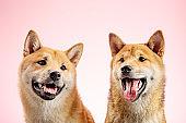 Shiba Inu Dogs