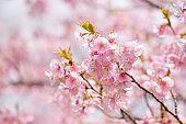 Beautiful Kawazu cherry blossoms in full bloom