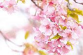Cherry blossoms(Japanese name is kanzakura)
