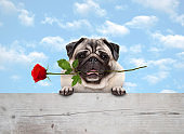 frolic cute smiling pug puppy dog with red rose in mouth, with paws on wooden fence banner, with blue sky background