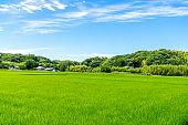 Lush green rice field.Fresh green and blue sky.