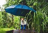 Funny concept of bad rainy weather with dog in wellington boots under umbrella