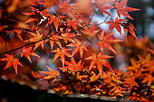 Autumn maple leaves, Japanese nature scene