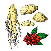 Ginseng vector drawing. Medical plant sketch. Botanica