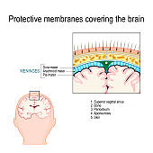 Protective membranes covering the brain.