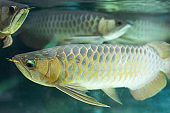 Silver arowana fish swimming in tank aquarium