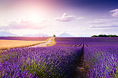 Lavender flower fields at sunset in Provence, France.