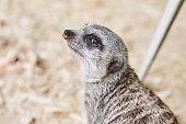 The little grey meerkat listens carefully