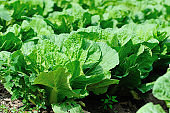 Chinese cabbage crops growing at field