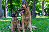 Dog Family. Adult with Puppy. German Shepherd Pet