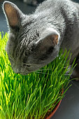 Russian blue breed cat eating grass.