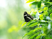 black butterfly on green leaf , relax and calm with nature concept