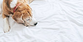 Beagle dog sleeps on the clear white bed sheet top view