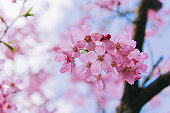 Cherry blossoms background with lovely pink color