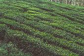 tea plant bushes rows on a tea plantation