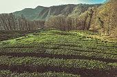 beautiful landscape with tea plantation