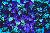 violet and blue plant leaves neon trendy abstract natural background