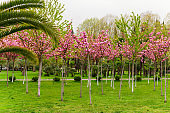 trees blooming with pink flowers in the city park