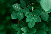 Green Leaves With Dew Drops Natural Texture Background