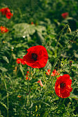 blooming red poppy flowers low key