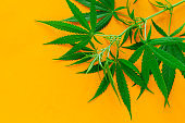 cannabis green leaves on a vibrant yellow background copy space