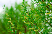 green leaves of tree, natural summer or spring greenery backdrop
