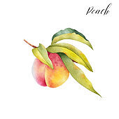 Hand drawn illustration of peach on a branch with leaves.