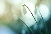 Snowdrop. Galantus flower bud on a blurred green blue background.Spring flowers. Floral natural spring background