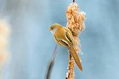 Cute little bird, Bearded tit, female Bearded reedling (panurus biarmicus)