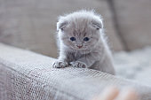 cute british little kitty