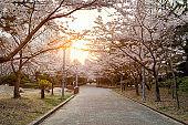 Garden Cherry blossom of Spring in Seoul, South Korea .
