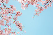 Cherry blossoms with blue sky background
