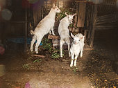 White goats in barn. Domestic goats in the farm. Lovely white kid goats