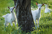 Baby goats kid stand in summer grass. Young goats grazes in a meadow.