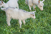 Cute goat grazing on grass. Little kid goats. White goats in a field