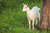 Baby goat walking on the meadow. Goat kid  eating green grass