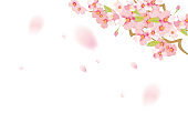 It is an illustration of soft fluffy cherry blossoms