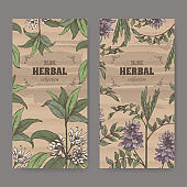 Two labels wuth Illicium verum aka star anise or badiane and Glycyrrhiza glabra aka liquorice color sketch.